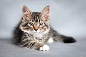 Картинки Коты Котята Морда