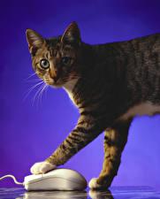 Фотографии Коты Компьютерная мышь Цветной фон Лапы
