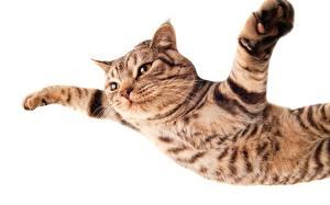 Обои Кошки Лапы Полет Падение Белый фон Животные