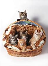 Фотография Кошки Белом фоне Корзина Котенка Животные