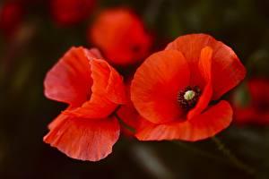 Фотография Вблизи Маки Красные Цветы