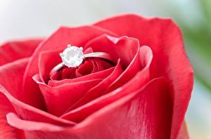 Фотографии Вблизи Розы Макро Алмаз обработанный Кольцо цветок