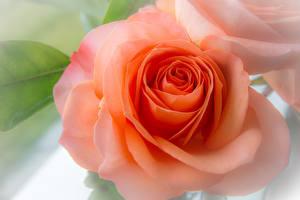 Обои Крупным планом Розы Оранжевый Цветы