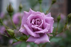Фото Вблизи Розы Фиолетовый Цветы