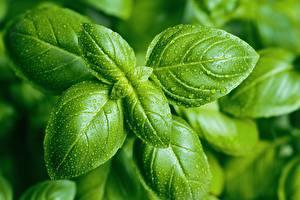 Фотография Вблизи Капельки Листья Зеленые basil Продукты питания