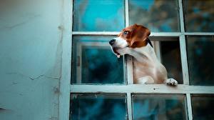 Картинки Собаки Бигль Окно Животные