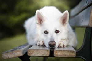 Фотографии Собаки Овчарки Смотрят Скамья Белые Морды Berger Blanc Suisse Животные