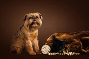 Картинки Собаки Часы Цветной фон Шляпа Brussels Griffon Животные
