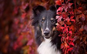 Обои Собака Колли Смотрят Морда Животные