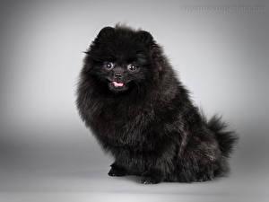 Обои Собаки Серый фон Шпиц Черный Животные