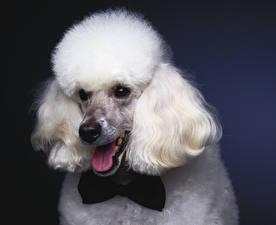 Обои Собаки Пудель Галстук-бабочка Морда Белый Язык (анатомия)