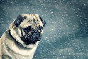 Фотография Собака Дождь Бульдога Щенка Грусть животное