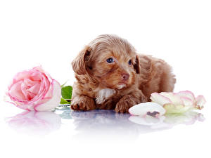 Фото Собака Роза Белым фоном Щенок Лепестки животное Цветы