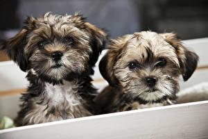 Обои Собаки Шпиц Двое Щенок Животные картинки