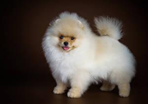 Фотография Собаки Шпиц Белый Животные