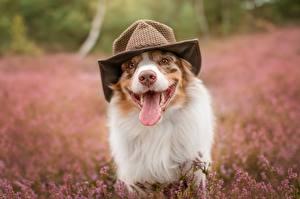 Фотография Собаки Язык (анатомия) Смешная Шляпы Австралийская овчарка