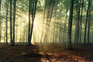 Фотографии Леса Деревья Лучи света Природа
