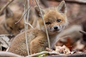 Фотография Лисица Детеныши Смотрят животное