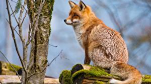 Фотография Лисы Сидит животное