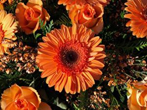 Фотография Герберы Розы Вблизи Оранжевых цветок