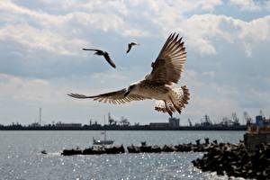 Фото Чайки Птицы Перья Полет животное