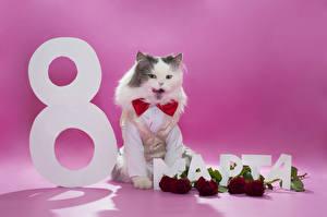 Фотография Праздники 8 марта Кошка Розы Бордовая Русские Животные Цветы