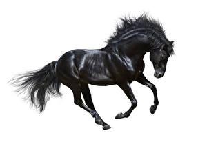 Фотография Лошади Белый фон Черных Бег животное