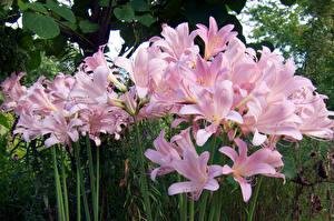 Фотографии Лилии Много Розовые Цветы