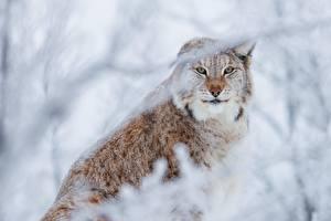 Фотография Рыси Смотрят животное