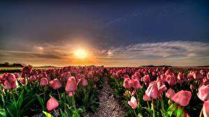 Фотография Голландия Тюльпаны Поля Рассвет и закат цветок