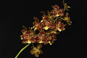 Фотография Орхидеи Крупным планом Черный фон Цветы