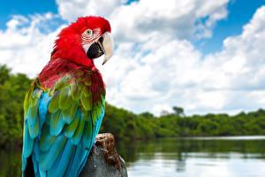 Картинка Попугаи Ара (род) Клюв Животные