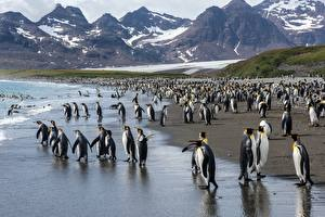 Обои Пингвины Много Побережье Животные картинки
