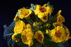 Картинка Первоцвет Крупным планом Черный фон Желтый Цветы
