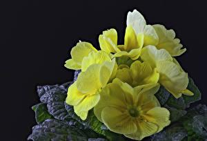 Фотографии Примула Вблизи Желтые цветок