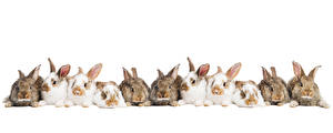 Фото Кролики Много Белый фон Животные