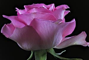 Фотографии Розы Крупным планом Черный фон Розовый Цветы