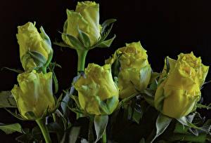 Фотографии Розы Крупным планом Черный фон Желтых Цветы