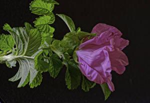 Фотография Розы Крупным планом Розовый Листья Цветы