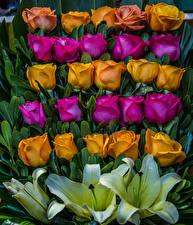 Фотографии Роза Лилии Дизайн цветок
