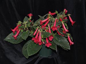 Обои Синнингия Красный Листва Цветы