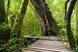 Обои Таиланд Тропики Парки Леса Мох Ствол дерева Doi Inthanon National Park Природа