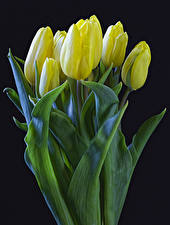 Фото Тюльпаны Черный фон Желтый Цветы