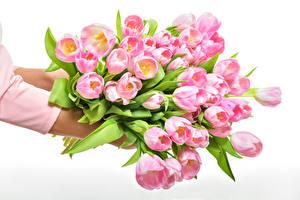 Обои Тюльпаны Много Белый фон Розовый Цветы