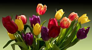 Фото Тюльпаны Разноцветные