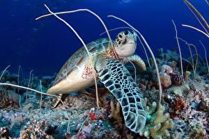Фотография Черепахи Подводный мир животное