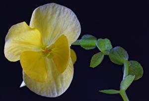 Картинка Бегония Вблизи Желтый цветок