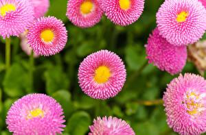 Картинка Маргаритка Крупным планом Розовый Цветы