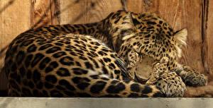 Обои Большие кошки Леопарды Спит Животные картинки