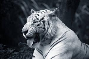 Картинки Большие кошки Тигры Морды Язык (анатомия) Смешной животное
